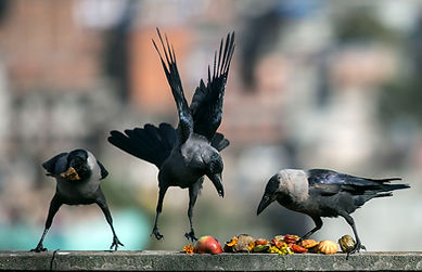 Crows in Nepal