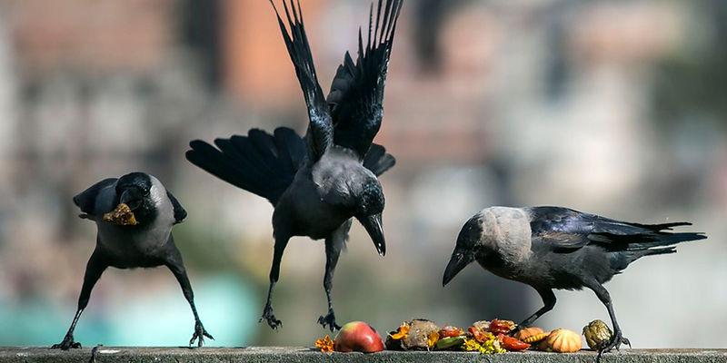 Crows at Kaag Tihar