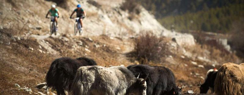 Mountain bike riders and Yaks, Nepal