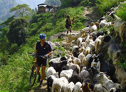 Mountan bike rider waking bike past goats on trail in Nepal