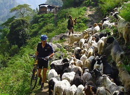 Mountan bike rider waking bike past goats on trail in Nepal