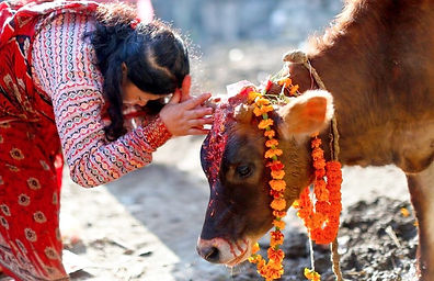Cow being worshipped during Tihar