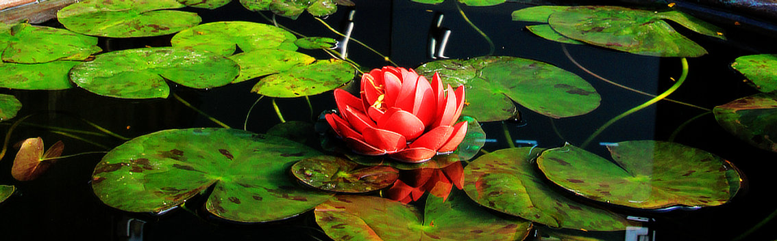 Lotus flower in pond in Nepal, reflecting wellness