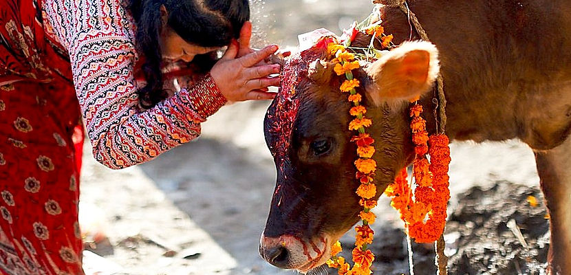 Cow with garland, Gai Tihar, Nepal