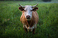cow_image.jpg
