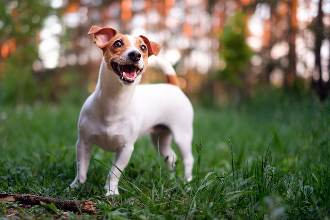 happy-dog-jack-russell-playing-park.jpg
