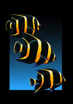 French Angel Fish.jpg