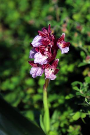 Wild Orchid / Orchis papilionacea