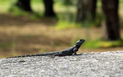 Stellio Lizard