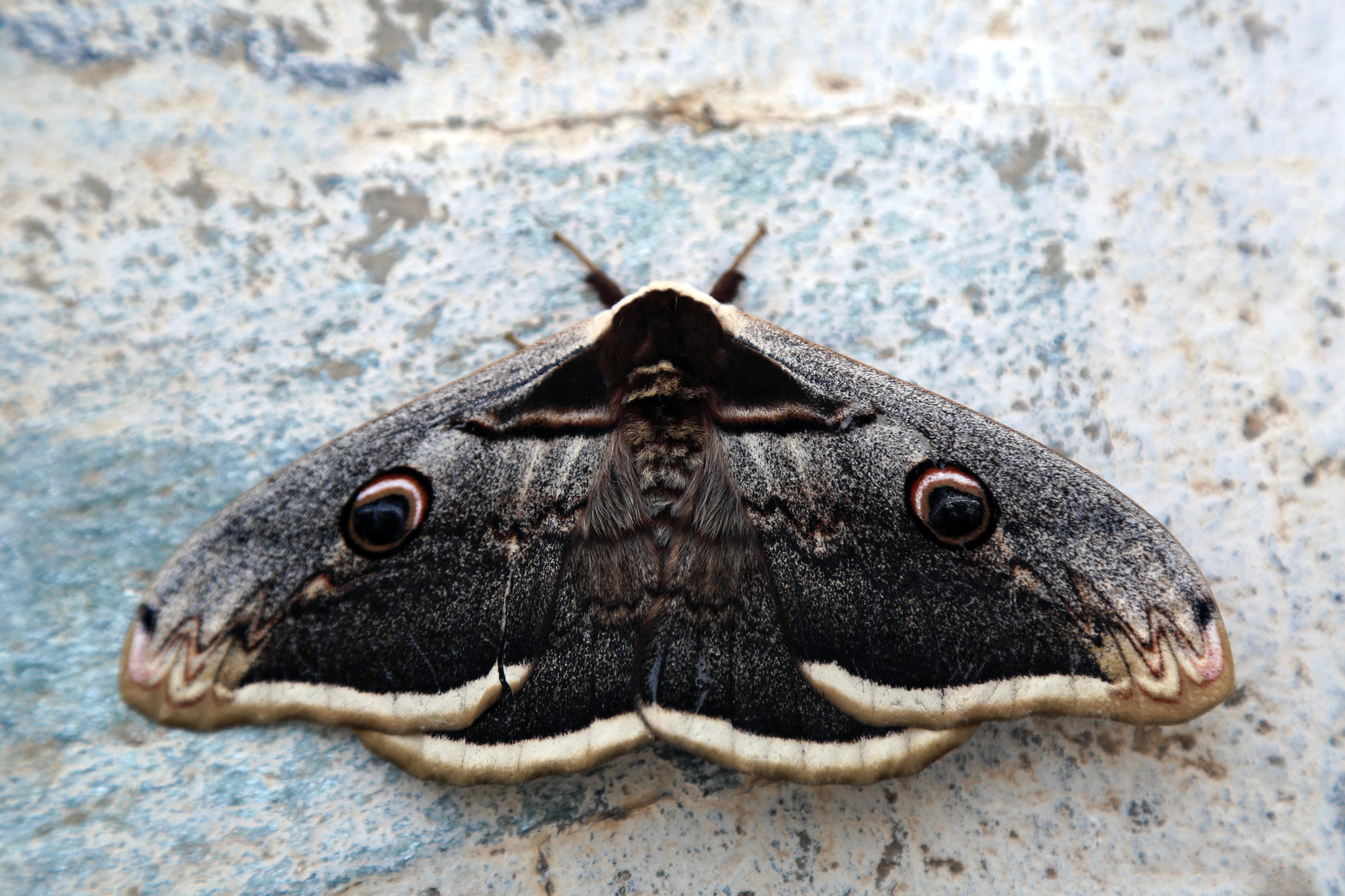 Saturnia Buterfly