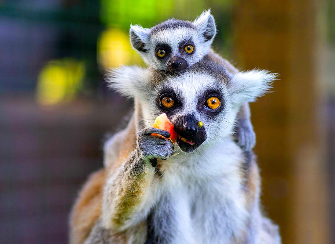 Les-lémuriens-mère-et-fils.jpg