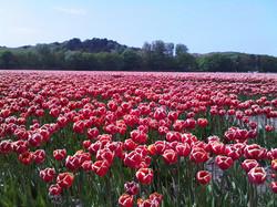 tulips in April