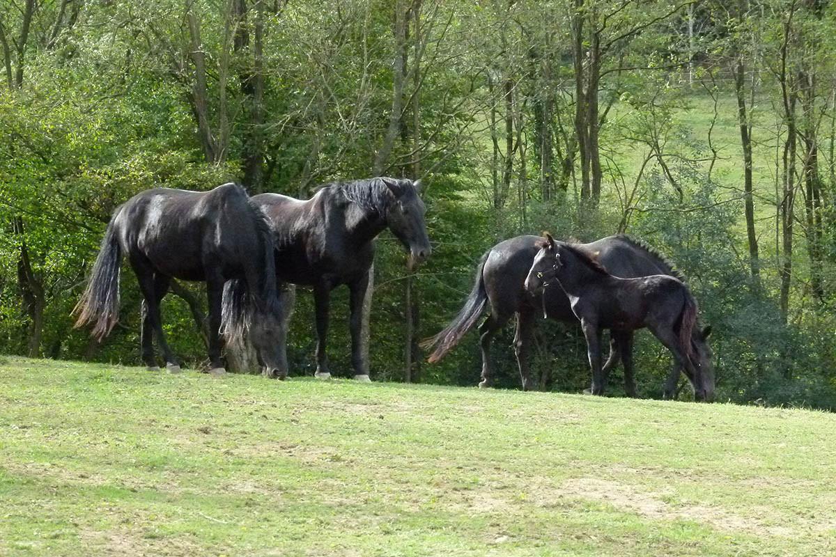 chevaux les crins noirs