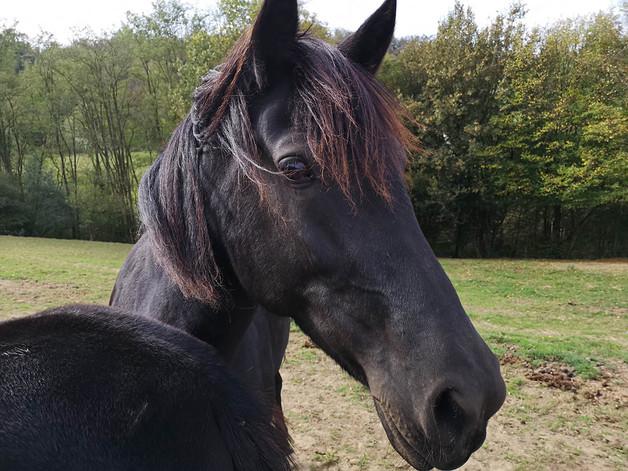 cheval les crins noirs