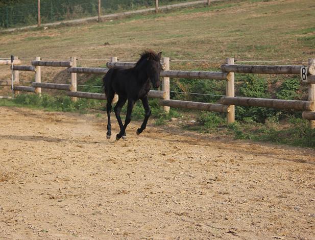 kiorly les crins noirs chevaux minor