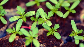 Plants are already sprouting! Kids for Earth's seed starting activity