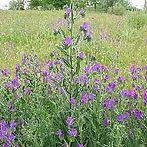 220px-Echium_plantagineum2.jpg