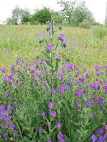 Poisonous Plants Commonly Found in Horse Pastures