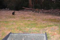 wallaby visitors