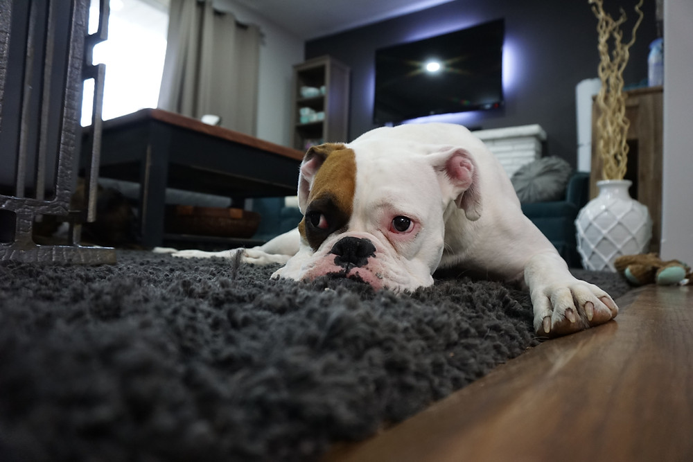 Dog laying down on a furry carpet.