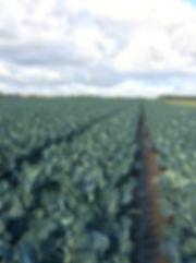Broccoli field.JPG