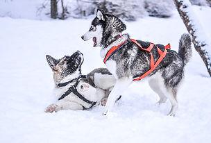 husky_hiver_chiots.jpg