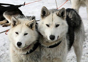 husky_hiver_neige_chiens