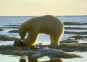 ours_polaire_océan_glace_soleil
