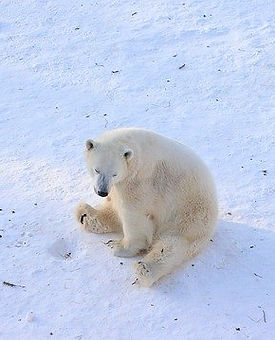 ours_polaire_banquise_neige