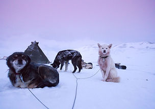 husky_svalbard_neige_chiens_traineau