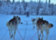 chiens_traineau_musher_neige