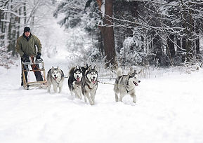 chiens_traineau_musher_neige
