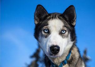 husky_chiens