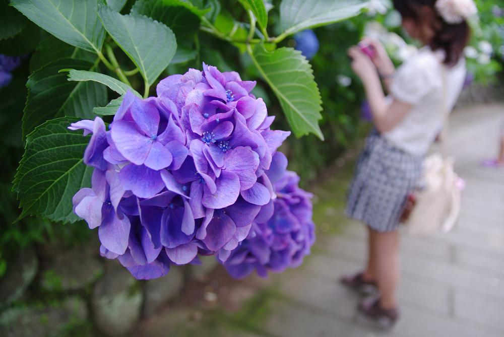 下田の紫陽花