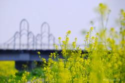 北宿大橋と菜の花