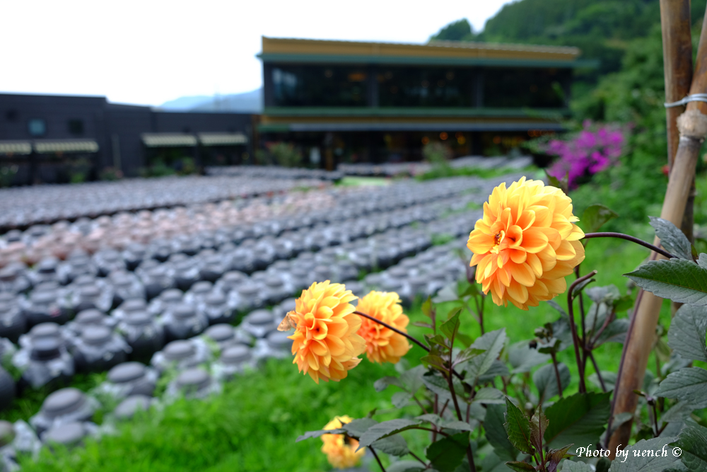 黒酢畑のダリア