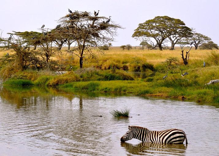 Grevy's Zebra taking a risk in the lake