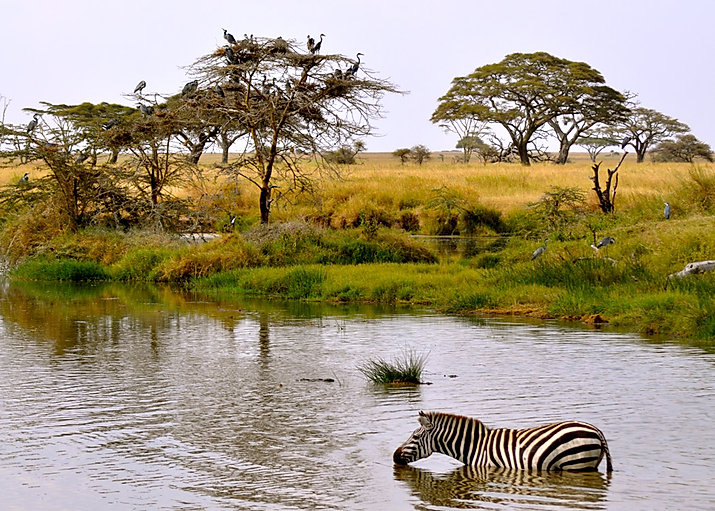 Grevy's Zebra taking a risk in the lake