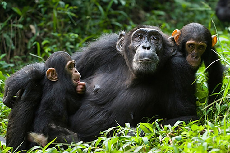 buraiga-chimp-habituation-experience.jpg