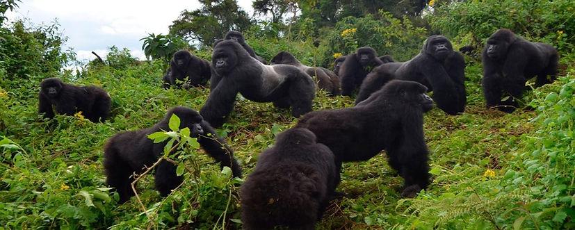 Gorilla-Trekking-Uganda-Gorilla-Tracking