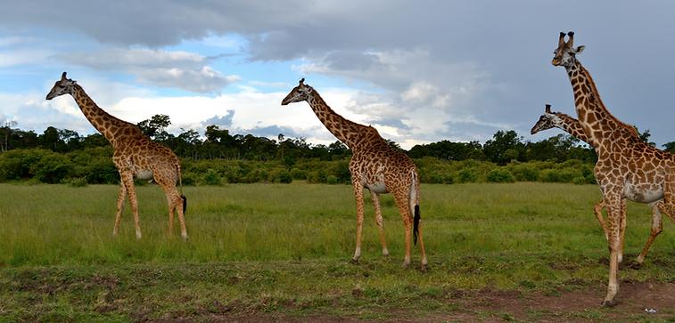 Safari and Beyond, private, custom African SafarisGiraffe at Giraffe Manor
