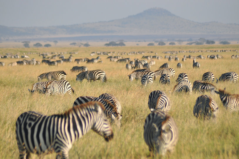 Zebra of Kenya