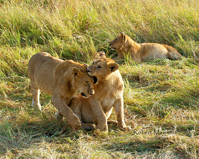 Lion Cubs playing in Kenya