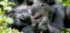 Mother and baby gorilla in Rwanda