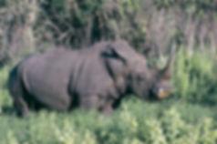 rhinoceroses.jpg