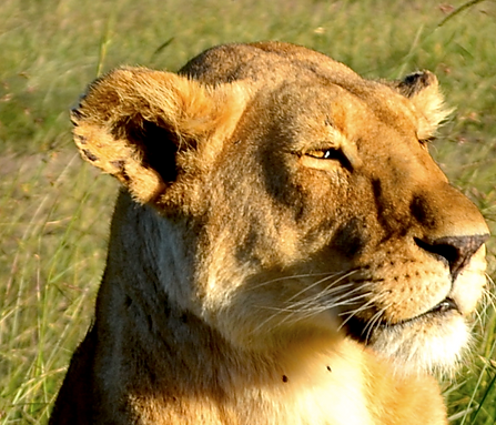Safari and Beyond, private, custom African SafarisLion lying in sun in the Masai Mar
