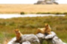 Lions relaxing on their rock in Kenya
