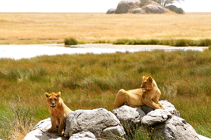 Lions relaxing on their rock in Kenya