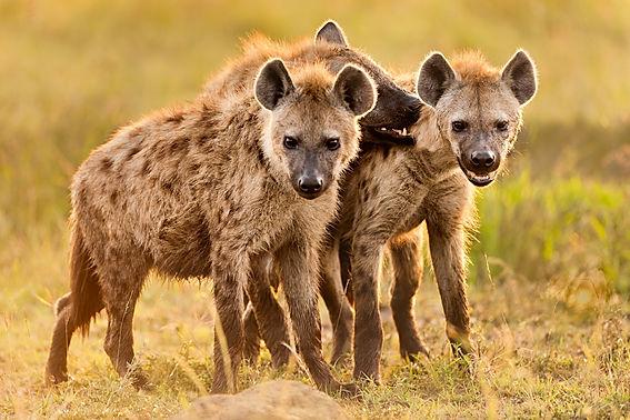 01-hyenas-nationalgeographic_1742911.jpg