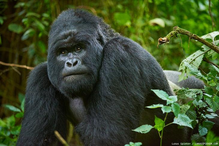 01-mountain-gorilla.jpg